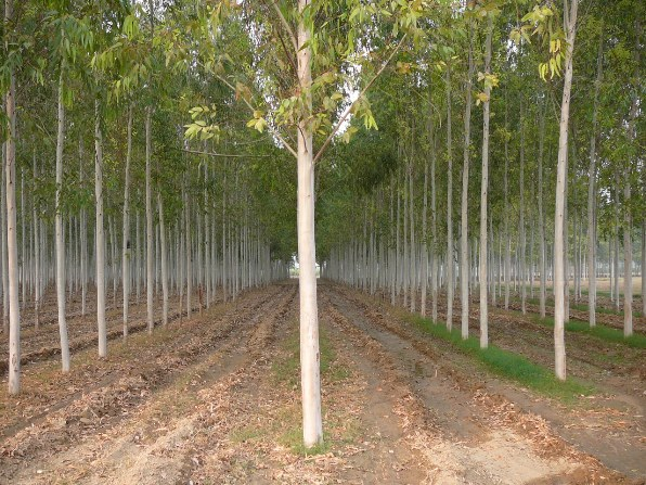 Planting Under Eucalyptus Trees : Best on top ?rvores e plantas que crescem mais r?pidas no